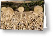 Life Cycle Of Wheat - Harvesting Greeting Card