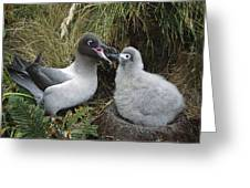 Light-mantled Albatross Feeding Chick Greeting Card
