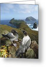 Light-mantled Albatrosses Courting Greeting Card