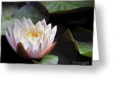 Light Pink Water Lily Greeting Card
