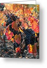 Light Through Fall Vineyard Greeting Card