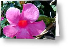 Light Within A Mandevilla Greeting Card