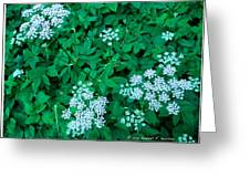 Like Queen Annes Lace Greeting Card