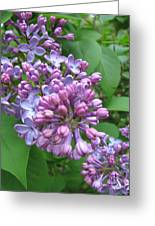 Lilac Buds And Blossoms Greeting Card