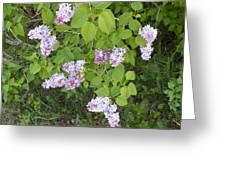Lilac Bush Greeting Card