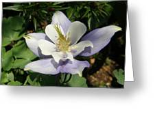 Lilac Columbine Greeting Card