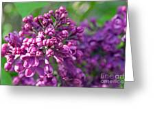 Lilac Dizzy Greeting Card