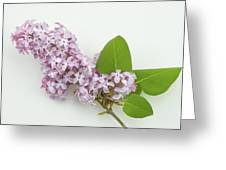 Lilac Flowers - White Background Greeting Card