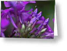 Lilac Petals And Purple Buds Greeting Card