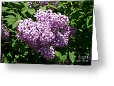 Lilac Ready For A Closeup Greeting Card