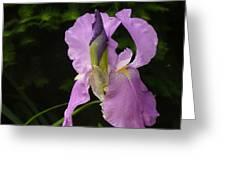 Lilac Siberian Iris Greeting Card