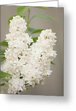 Lilac (syringa Vulgaris 'angel White') In Flower Greeting Card