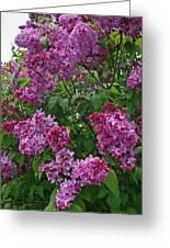 Lilacs At Hulda Klager Lilac Garden Greeting Card