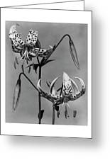 Lilium Bellingham Greeting Card