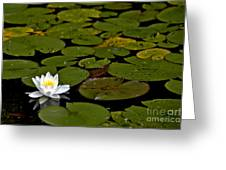 Lily And Pads Greeting Card