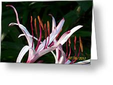 Lily Beauty Greeting Card