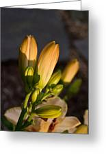 Lily Blossoms At Sunset Greeting Card
