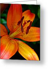 Lily Closeup Greeting Card