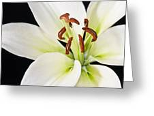 Lily In Winter Greeting Card