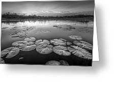 Lily Pads In The Glades Black And White Greeting Card