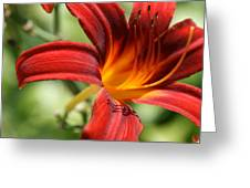 Lily Red  Greeting Card