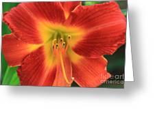Daylily 5  Greeting Card