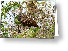 Limpkin In A Tree Greeting Card