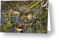 Limpkin With Lunch Greeting Card