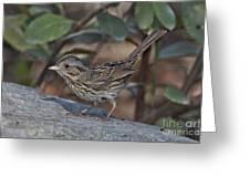 Lincolns Sparrow Greeting Card