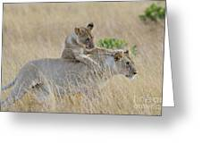 Lion Cub Playing With Female Lion Greeting Card