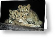 Three Lion Cubs Greeting Card