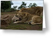 Lion - Get Off Me Greeting Card