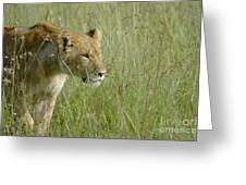 lion Masai Mara Kenya Greeting Card