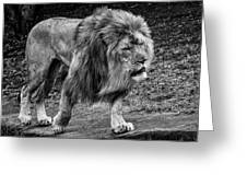 Lion On The Prowl Greeting Card
