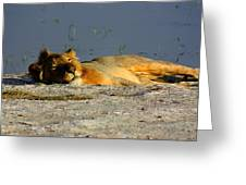 Lion Resting Greeting Card