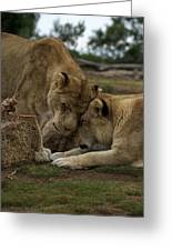 Lion Smooch Greeting Card