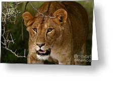 Lioness Greeting Card by Alison Kennedy-Benson