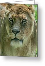Lioness Female Lion 2 Greeting Card