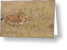 Lioness, Kenya Greeting Card