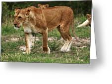Lioness On The Masai Mara Greeting Card