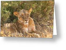 Lioness  Panthera Leo Resting Greeting Card