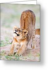 Lioness Panthera Leo Stretching Greeting Card