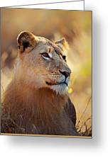 Lioness Portrait Lying In Grass Greeting Card
