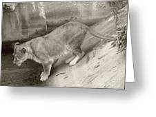 Lioness Sepia Greeting Card