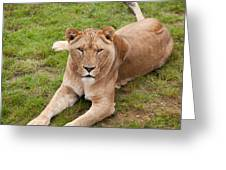 Lioness Sitting In Grass Greeting Card