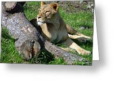 Lioness2 Greeting Card