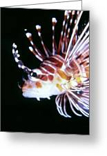Lionfish 3 Greeting Card