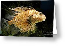 Lionfish Searching For Its Prey Greeting Card