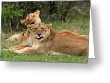 Lions Of The Masai Mara  Greeting Card