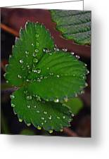 Liquid Pearls On Strawberry Leaves Greeting Card
